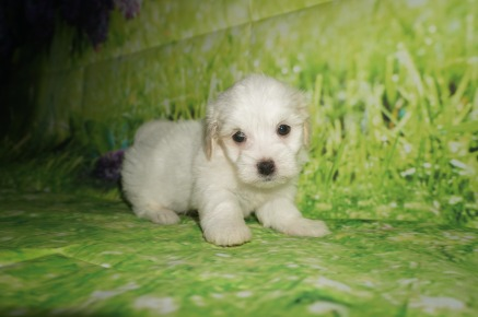 Nino Male Havanese $1750 Ready 6/29 AVAILABLE 2 lbs 6 weeks Old