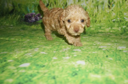Peanut Female CKC Maltipoo $2000 Ready 3/30 HAS DEPOSIT MY NEW HOME PONTE VEDRA BEACH, FL 1.4 lbs 5W2D Old