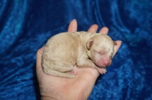Pizza Male CKC Shihpoo $1750 Ready 8/3 AVAILABLE 6.5 oz 1 Day Old