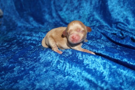 Roulette Male CKC Havapoo $2000 Ready 8/2 HAS DEPOSIT MY NEW HOME IS JOHNS CREEK, GA 6 oz 1 Day Old