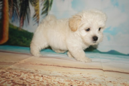 Rumba (Nugget) Male CKC Havanese $1750 Ready 6/5 SOLD MY NEW HOME GAINESVILLE, FL 2.4 lbs 7W4D Old