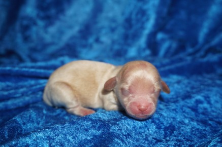 Spellbound Female CKC Havapoo $1750 Ready 8/2 HAS DEPOSIT MY NEW HOME GRANBURY, TX 4.7 oz 1 Day Old