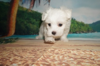 Squints Male CKC Maltese $2000 Ready 5/31 SOLD MY NEW HOME JACKSONVILLE, FL 1.11 lbs 8W2D Old