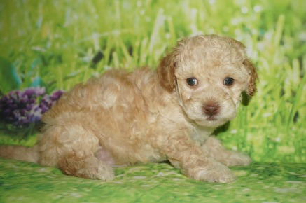 Winnie Pooh Male CKC Maltipoo $1750 Ready 7/6 HAS DEPOSIT MY NEW HOME JACKSONVILLE, FL 1.15 lbs 5W2D Old