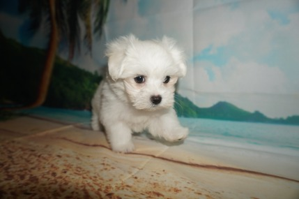 Yeah Yeah Male CKC Maltese $1750 Ready 5/31 SOLD MY NEW HOME JACKSONVILLE, FL 2.1 lbs 8W2D Old