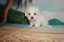 Benny Male CKC Maltese $1750 Ready 5/31 AVAILABLE 1.14 Lbs 8W2D Old