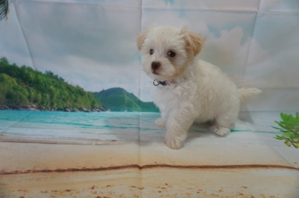 ChaCha (Ella) Female CKC Havanese $1750 Ready 6/5 SOLD MY NEW HOME PONTE VEDRA BEACH, FL 2.4 lbs 7W4D Old