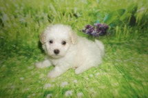 Hola Female Havanese $1750 DISCOUNTED $1500 Ready 6/29 AVAILABLE 1.10 lbs 6 weeks Old