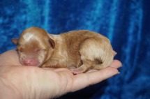 Lego Male CKC Havapoo $2000 Ready 8/2 HAS DEPOSIT MY NEW HOME BRANDON, FL 5.1 oz 1 Day Old