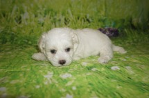 Lucy Female CKC Maltipoo $1750 Ready 7/11 HAS DEPOSIT MY NEW HOME ORMOND BEACH, FL 2 LBS 4W4D Old