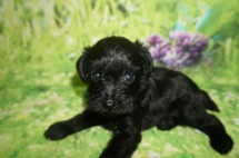Mac Male CKC Schnoodle $1750 Ready 7/13 AVAILABLE 1.3 LBS 4W5D Old