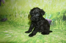 Micah Male CKC Schnoodle $1750 Ready 7/13 AVAILABLE 1.3 LBS 4W5D Old