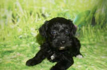 Molly Female CKC Schnoodle $1750 Ready 7/13 HAS DEPOSIT MY NEW HOME JACKSONVILLE, FL 1.6 LBS 4W5D Old