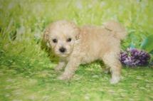 Olaf Male CKC Shihpoo $1750 Ready 7/6 HAS HOLD MY NEW HOME ATLANTA, GA 1 lb 5 weeks old