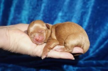 Yahtzee Female CKC Havapoo $2000 Ready 8/2 HAS HOLD 6.3 oz 1 Day Old