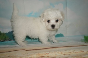 Maltese Tlc Puppy Love