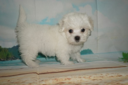 Benny Male CKC Maltese $1750 Ready 5/31 SOLD MY NEW HOME ST MARYS, GA 1.14 Lbs 8W2D Old