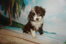 Count Chocula Male Medium Aussie Labradoodle $2000 Ready 5/18 SOLD MY NEW HOME JACKSONVILLE, FL