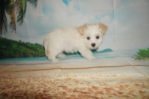 Danzo (Rocket) Male CKC Havanese $1750 Ready 6/5 SOLD MY NEW HOME JACKSONVILLE, FL 2.9 lbs 7W4D Old