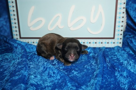 Hamburger Male CKC Shihpoo $1750 Ready 8/3 AVAILABLE 6.7 oz 1 Day Old