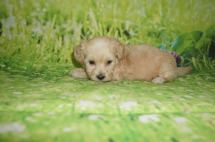 Anna Female CKC Shihpoo $1750 Ready 7/6 AVAILABLE 1.4 lbs 5 weeks old