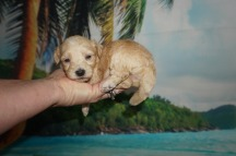 Anna Female CKC Shihpoo $1750 Ready 7/6 AVAILABLE 14.9 oz 3 Wks old