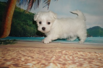 Squints Male CKC Maltese $2000 SOLD MY NEW HOME JACKSONVILLE, FL Ready 5/31 ONLY 1.11 lbs 8W2D Old