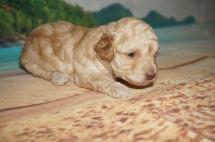 Winnie Pooh Male CKC Maltipoo $1750 Ready 7/6 HAS DEPOSIT MY NEW HOME JACKSONVILLE, FL1.5 lbs 3 weeks old