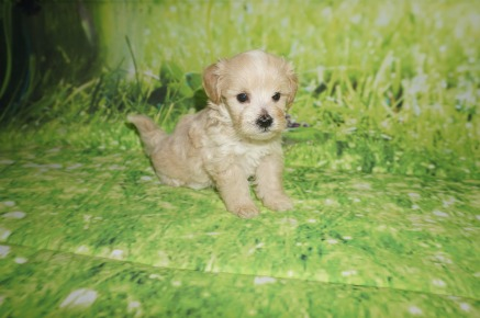 Elsa Female CKC Shihpoo $1750 Ready 7/6 HAS DEPOSIT MY NEW HOME CHARLESTON, SC 1.3 lbs 5 weeks old