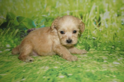 Hans Male CKC Shihpoo $2000 Ready 7/6 AVAILABLE 1 lb 5 weeks old