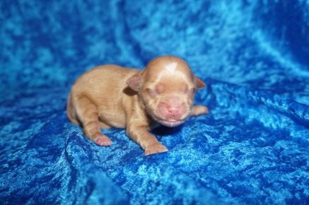 Jigsaw Female CKC Havapoo $2000 Ready 8/2 HAS DEPOSIT MY NEW HOME DAYTONA, FL 5.6 oz1 Day Old
