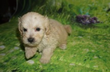 Kristoff Male CKC Shihpoo $1750 READY 7/6 AVAILABLE
