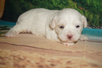 Lacey Female CKC Maltipoo $1750 Ready 7/11 AVAILABLE 1.8 LBS 2W3D Old