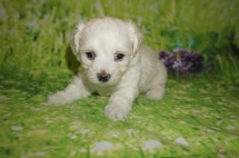 Luca Male CKC Maltipoo $1750 Ready 7/11 AVAILABLE 1.10 lbs 4W4D Old