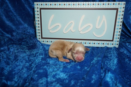 Nacho Pizza Male CKC Shihpoo $2000 Ready 8/3 AVAILABLE 5.5 oz 1 Day Old