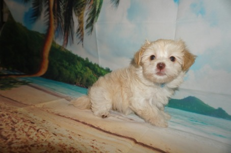 Salsa Female CKC Havanese $1750 Ready 6/5 SOLD MY NEW HOME SCREVEN, GA 2.3 lbs 7W4D Old