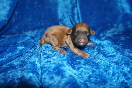 Taco Male CKC Shihpoo $2000 Ready 8/3 AVAILABLE 4.5 oz 1 Day Old