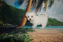 Yeah Yeah Male CKC Maltese $1750 WAIT DISCOUNTED NOW $1500 Ready 5/31 SOLD MY NEW HOME JACKSONVILLE, FL 2.1 lbs 8W2D Old