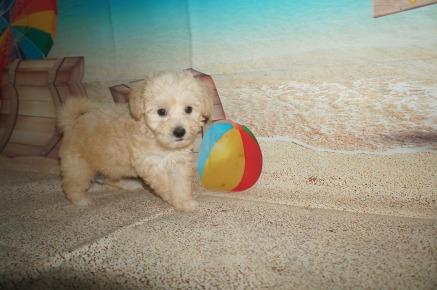 Anna Female CKC Shihpoo $1750 Ready 7/6 SOLD MY NEW HOME ST SIMONS ISLAND, GA 2.1 lbs 7W1D old