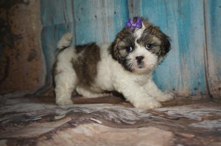 Baby Spice Female Teddy Bear A/K/A Shichon $1750 Ready 8/8 SOLD MY NEW HOME ALMA, GA 2.14lbs 6W4D old