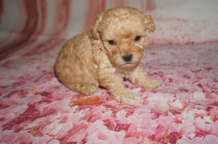 Bazooka Male CKC Toy Poodle $2000 Ready 8/15 AVAILABLE 1 lb 3W5D Old