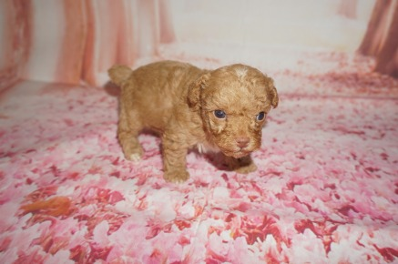 Big Red Male CKC Toy Poodle $2000 Ready 8/15 AVAILABLE 14.2 oz 3W5D Old
