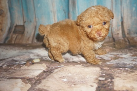 Big Red Male CKC Toy Poodle $2000 Ready 8/15 SOLD! MY NEW HOME JACKSONVILLE, FL 15.7oz 5W4D old