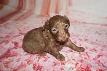 Cappuccino Male CKC Malshipoo $2000 Ready 8/20 AVAILABLE 1.4 lbs 3W2D Old