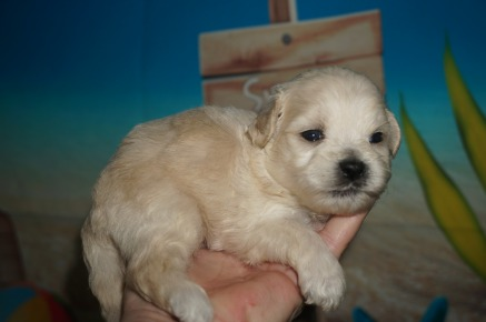 Cheese Stick Male CKC Shihpoo $1750 Ready 8/3 AVAILABLE 1Lb 3W2D Old