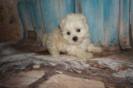 Cheese Stick 1 Male CKC Shihpoo $1750 Ready 8/3 SOLD MY NEW HOME PONTE VEDRA BEACH, FL 1.8LBS 7W2D OLD