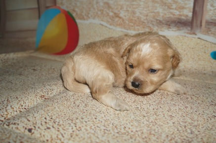Elvis Male CKC Shihpoo $1750 Ready 8/10 AVAILABLE 1.8 LBS 2W2D old
