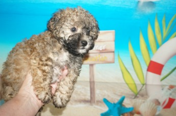 George Male CKC Maltipoo $1750 Ready 7/6 SOLD MY NEW HOME JACKSONVILLE, FL 2.5 lbs 7W2D Old