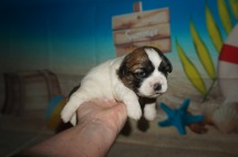 Ginger Spice Female Teddy Bear A/K/A Shichon $1750 Ready 8/8AVAILABLE 1.12 lbs 2wk4d old