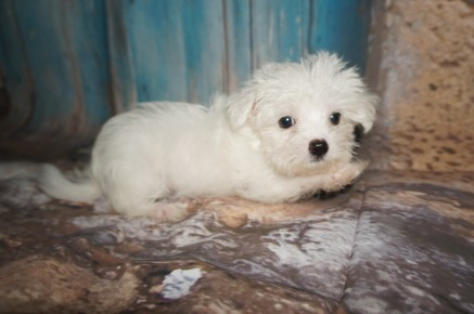 Gucci Male CKC Morkie $2000 DISCOUNTED $1500 Ready 7/14 SOLD MY NEW HOME JACKSONVILLE, FL 1.12lbs 10W3D old